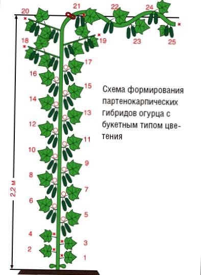 как формировать куст огурцы в теплице