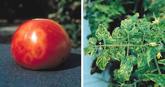 мозаика у помидоров