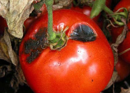 фитофтора у помидор