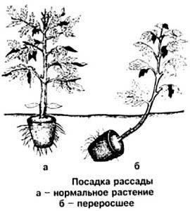 способы посадки рассады помидоров в грунт