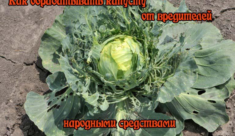 как обрабатывать капусту от вредителей народными средствами
