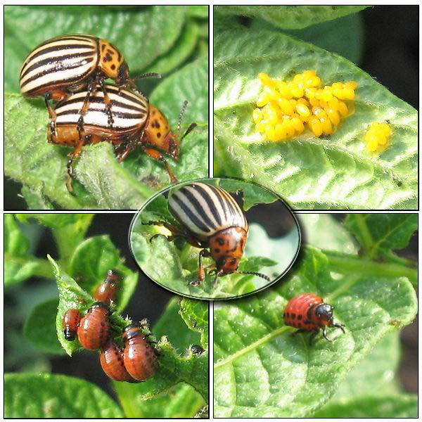 как уничтожить колорадского жука