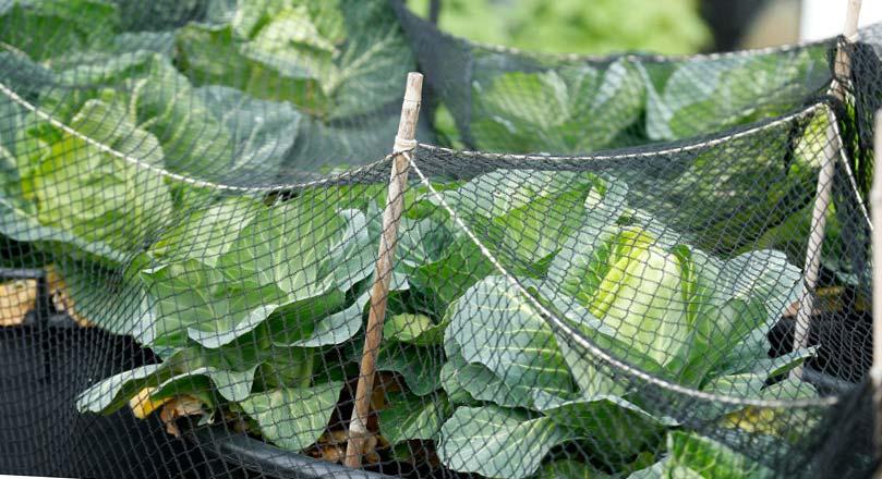 как обрабатывать капусту от вредителей
