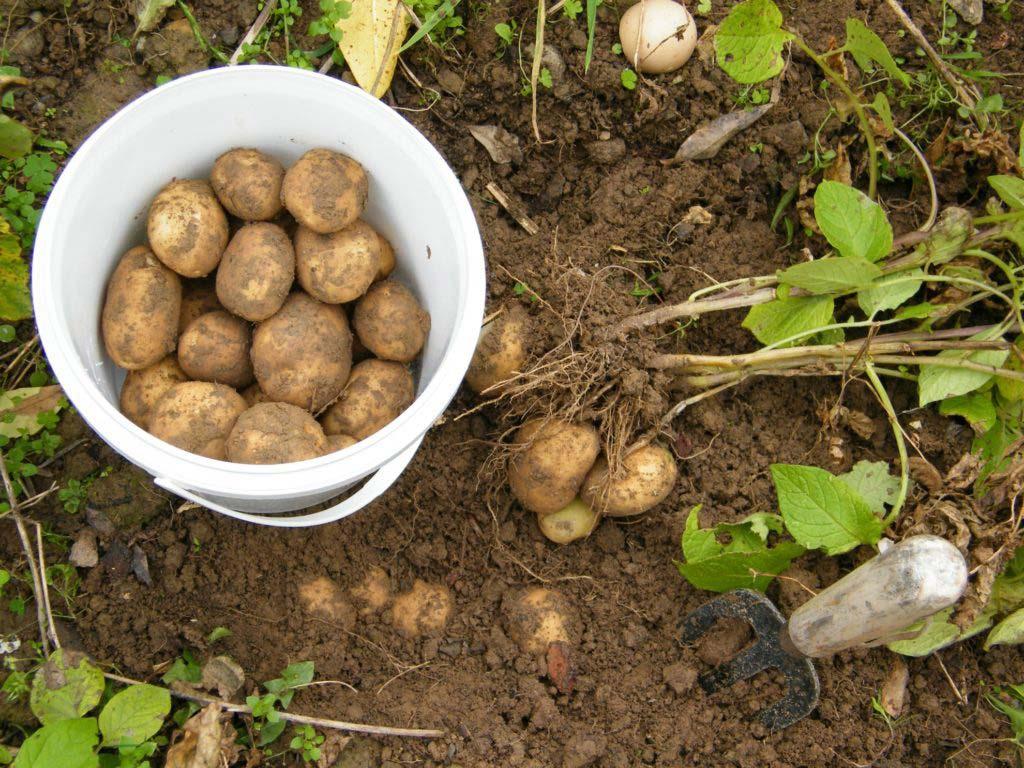 Когда и Как правильно убирать картофель на хранение