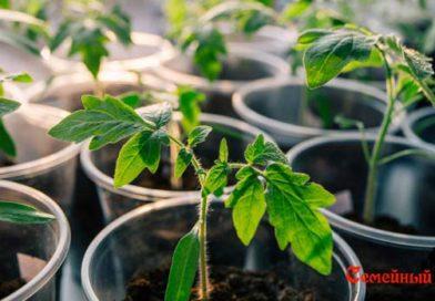 Когда садить (сеять) помидоры на рассаду в Сибири.