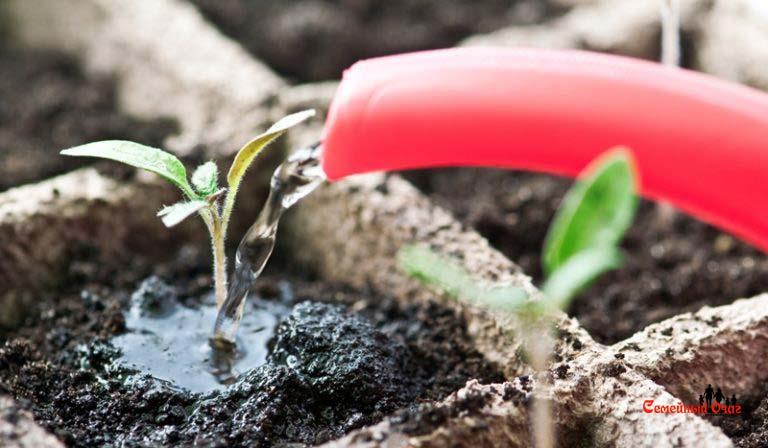 поливать рассаду нужно под корень