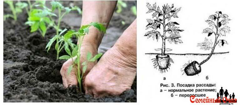 Вот так нужно посадить вытянутые томаты