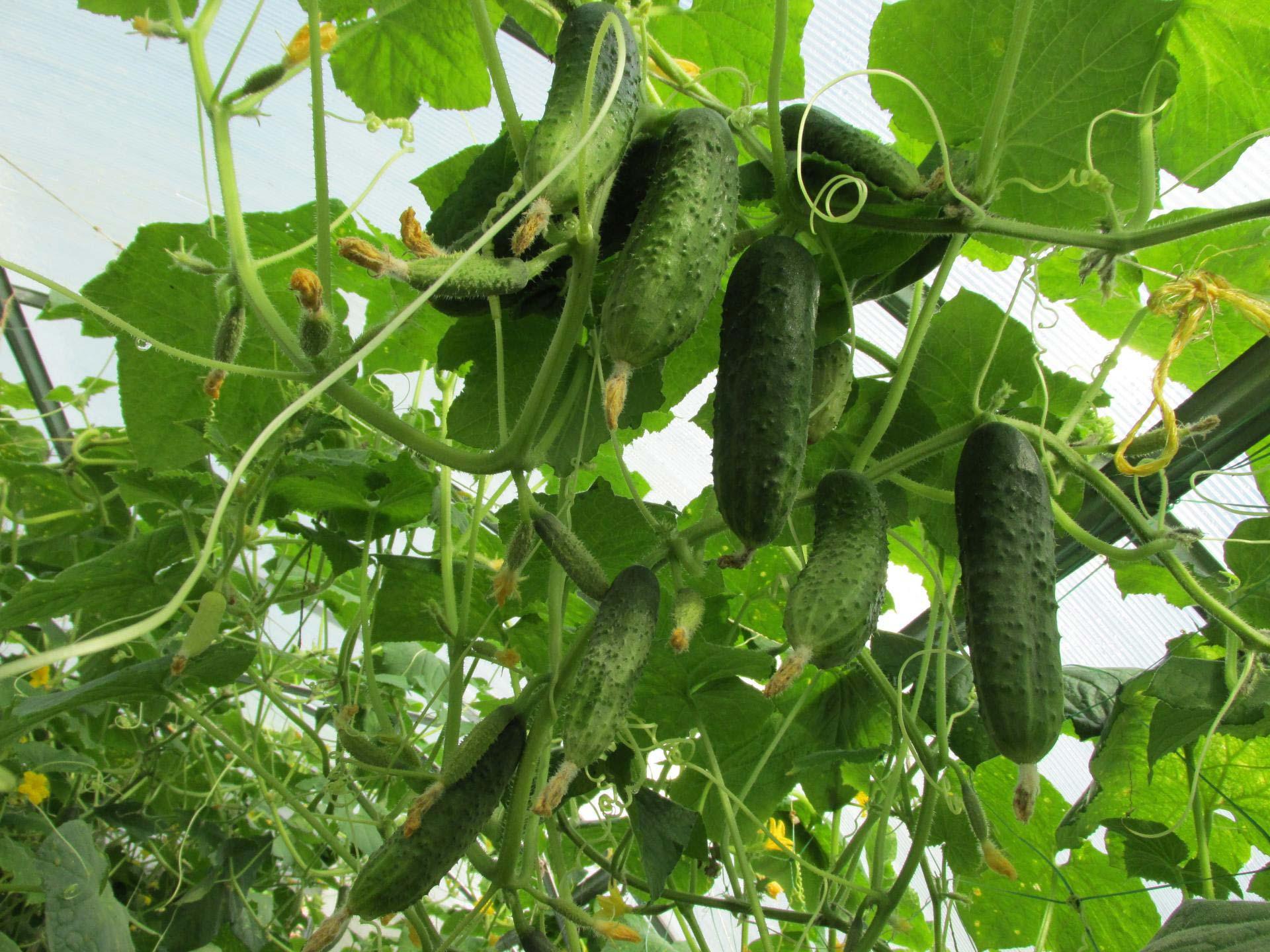 Выращивание огурцов зимой в теплице: рекомендации садоводов 8